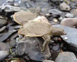 Aménagement pour la biodiversité et protection de l'habitat de la tortue molle à épines